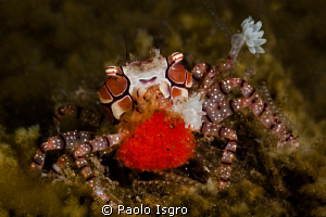 boxer crab with eggs - Tulamben ( Bali ) by Paolo Isgro